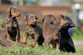 Éleveur canin